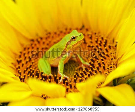 Tree frog sitting on a sunflower - stock photo