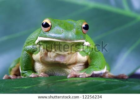 Tree frog sitting on green leaf - stock photo