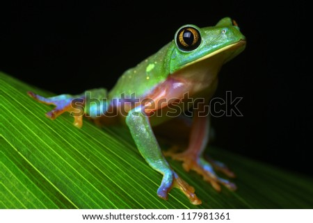 tree frog tropical treefrog, a rain forest amphibian and nocturnal animal with bright vivid colors lives in Jungle of Costa Rica Agalychnis annae - stock photo