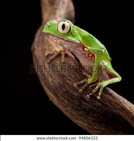 tree frog with big eyes on branch of a tropical tree in amazon rainforest. Macro of beautiful night animal in rain forest jungle of south america. - stock photo