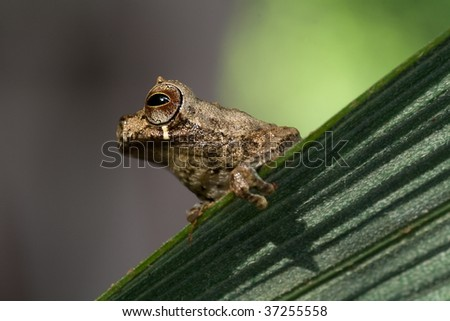 Tree frog with bright colors sitting on a palm leaf in the Bolivian rain forest