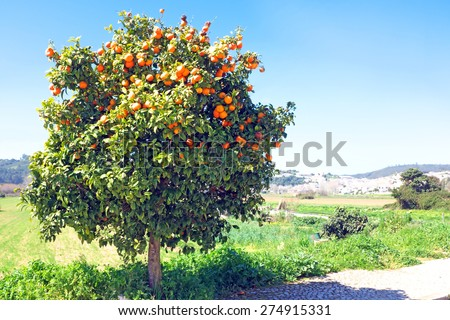 Tree full of oranges in spring time - stock photo
