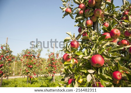 tree full of ripe red apples with other trees in the background - stock photo