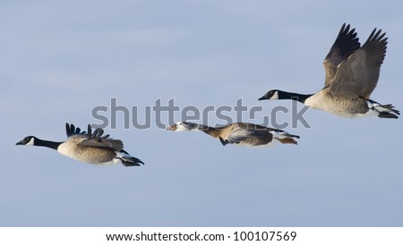 Tree Geese in Flight - stock photo