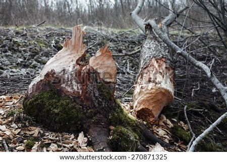 Tree gnawed by beavers. Photographed in early spring in Estonia, Europe. - stock photo