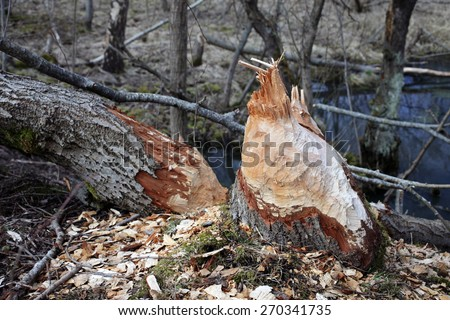 Tree gnawed by beavers. Photographed in Estonia, Europe.  - stock photo