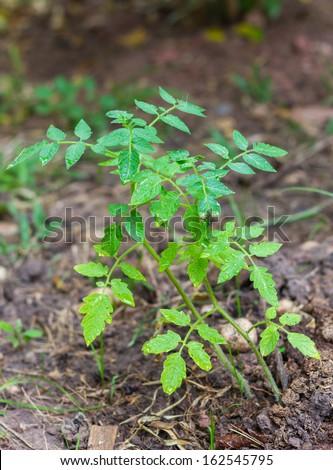 tree green tomato - stock photo