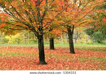 Tree grove with Fall Colors in Oregon - stock photo