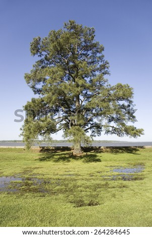 Tree growing on the precise spot on the James River, Jamestown, Virginia where the first English Colonists came to the New World and established the first permanent English Colony. - stock photo