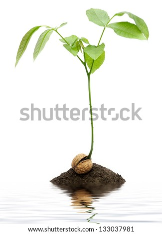 Tree growing out of walnut in dirt with water - stock photo