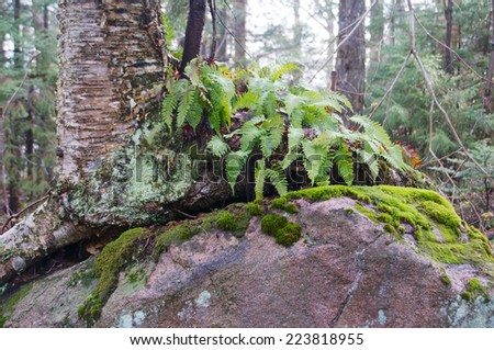 Tree grows around a rock in the woods surrounded by vegetation - stock photo