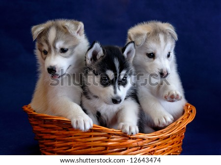 Tree husky puppies in the basket - stock photo