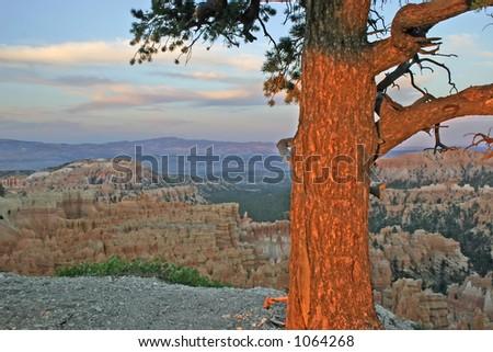 Tree illuminate at sunrise at edge of Bryce Canyon - stock photo