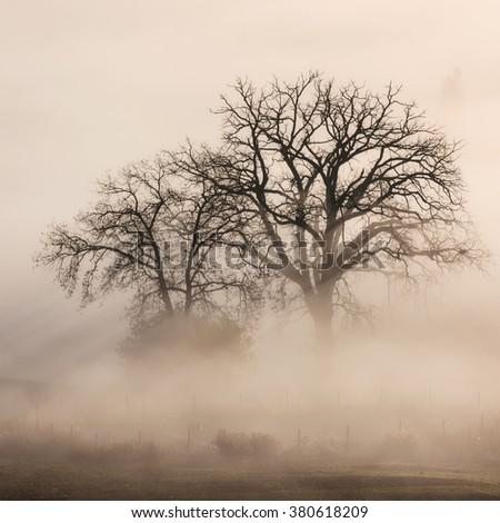 Tree in a fog. Tuscany, Italy, Europe. - stock photo