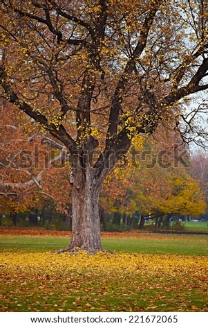 Tree in a park in autumn, leaves starting to fall - stock photo
