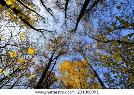 Tree  in autumn beech forest against the blue sky. - stock photo