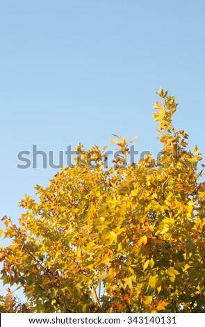 Tree in autumn full of yellow leaves - stock photo