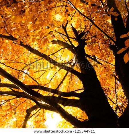 tree in autumn sunlight - stock photo