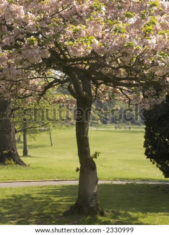 tree in blossom