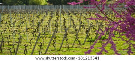 Tree in flowers in vineyard - stock photo