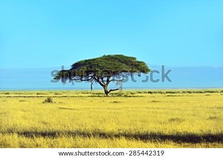 Tree in Kenya Masai Mara National Park - stock photo