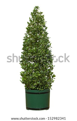 tree in pot isolated on white background - stock photo