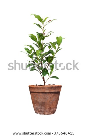 Tree in pots on isolated white background