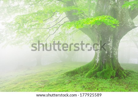 tree in the forest with fog and beautiful light on spring - stock photo