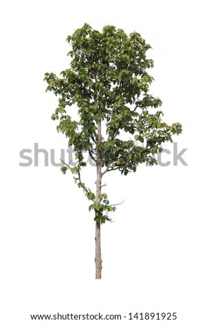 Tree in the forests of Thailand ,isolated on white background - stock photo