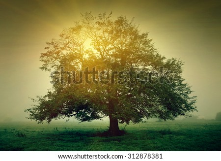 Tree in the meadow in the mist with sunlight - stock photo