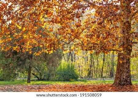 Tree in the park with fallen leaves at autumn