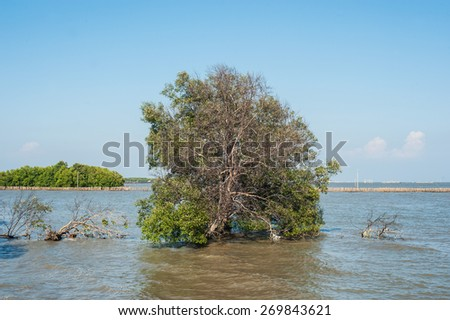 Tree in the water at mangrove forest.