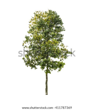 Tree isolate on a white background  - stock photo