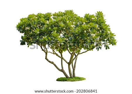 tree isolate on white background - stock photo