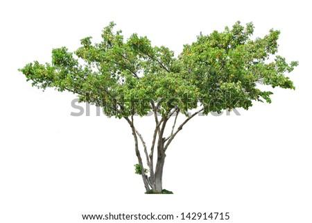 Tree isolated - stock photo