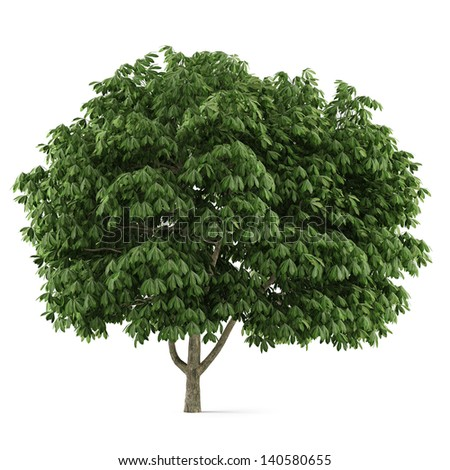 Tree isolated. Aesculus chestnut - stock photo