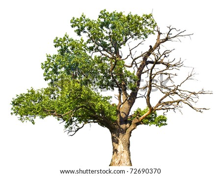 Tree isolated against a white background - stock photo