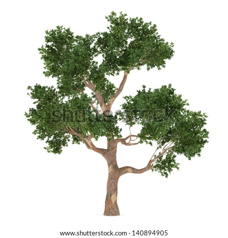 Tree isolated. Eucalyptus - stock photo
