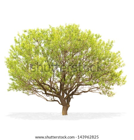 Tree isolated on a white background . - stock photo