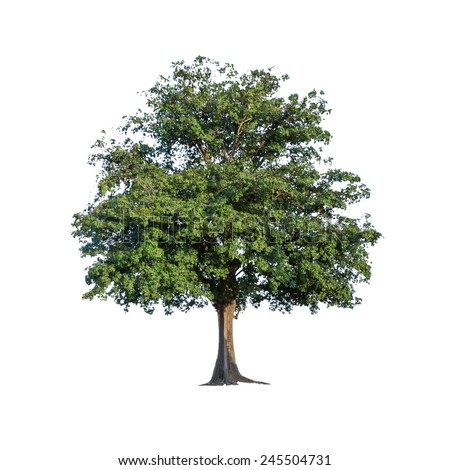 Tree isolated on a white background. For a behind the scenes with clipping path. - stock photo
