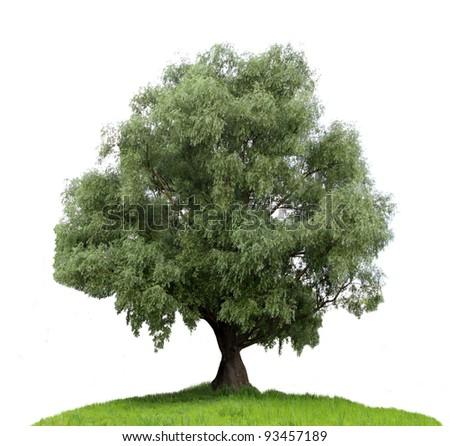 Tree isolated on white background. - stock photo