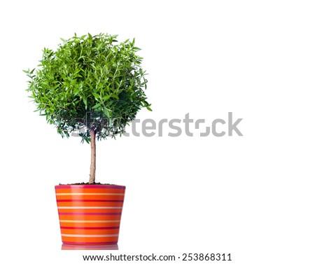 Tree isolated on white background close up - stock photo