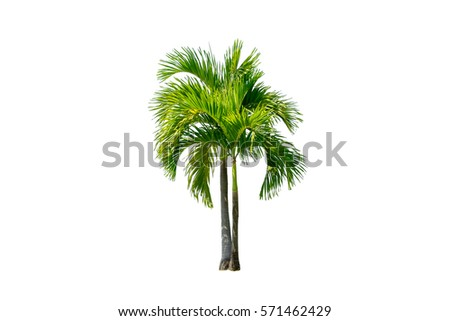 tree isolated on white background. manila palm tree. betel palm