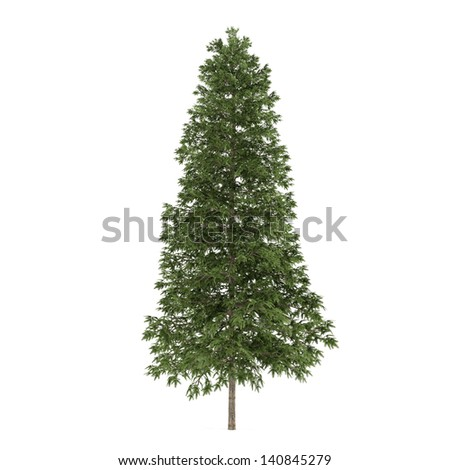 Tree isolated. Picea abies  fir-tree - stock photo