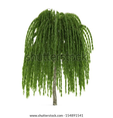 Tree isolated. Salix willow - stock photo