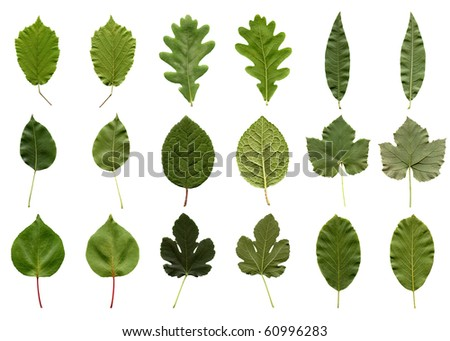 Tree leaves collage - isolated over white background - front and back