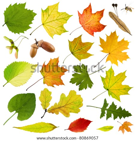 tree leaves isolated on white background - stock photo