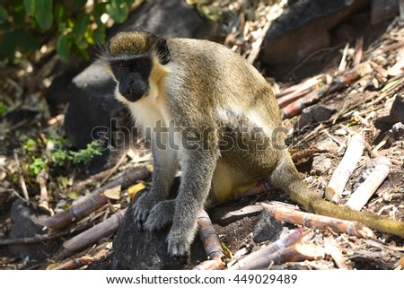 Tree Monkey in St. Kitts