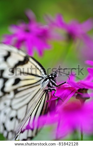 Tree Nymph Butterfly - stock photo