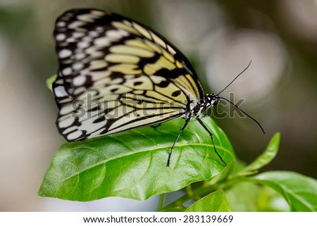 Tree Nymph or Paper Kite Butterfly on a green leaf - stock photo
